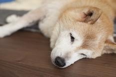 愛犬チビちゃん
